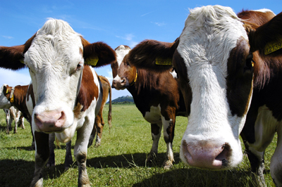 Brown and white cows in a field